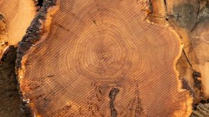 Elm Cookie slab next to uncut logs